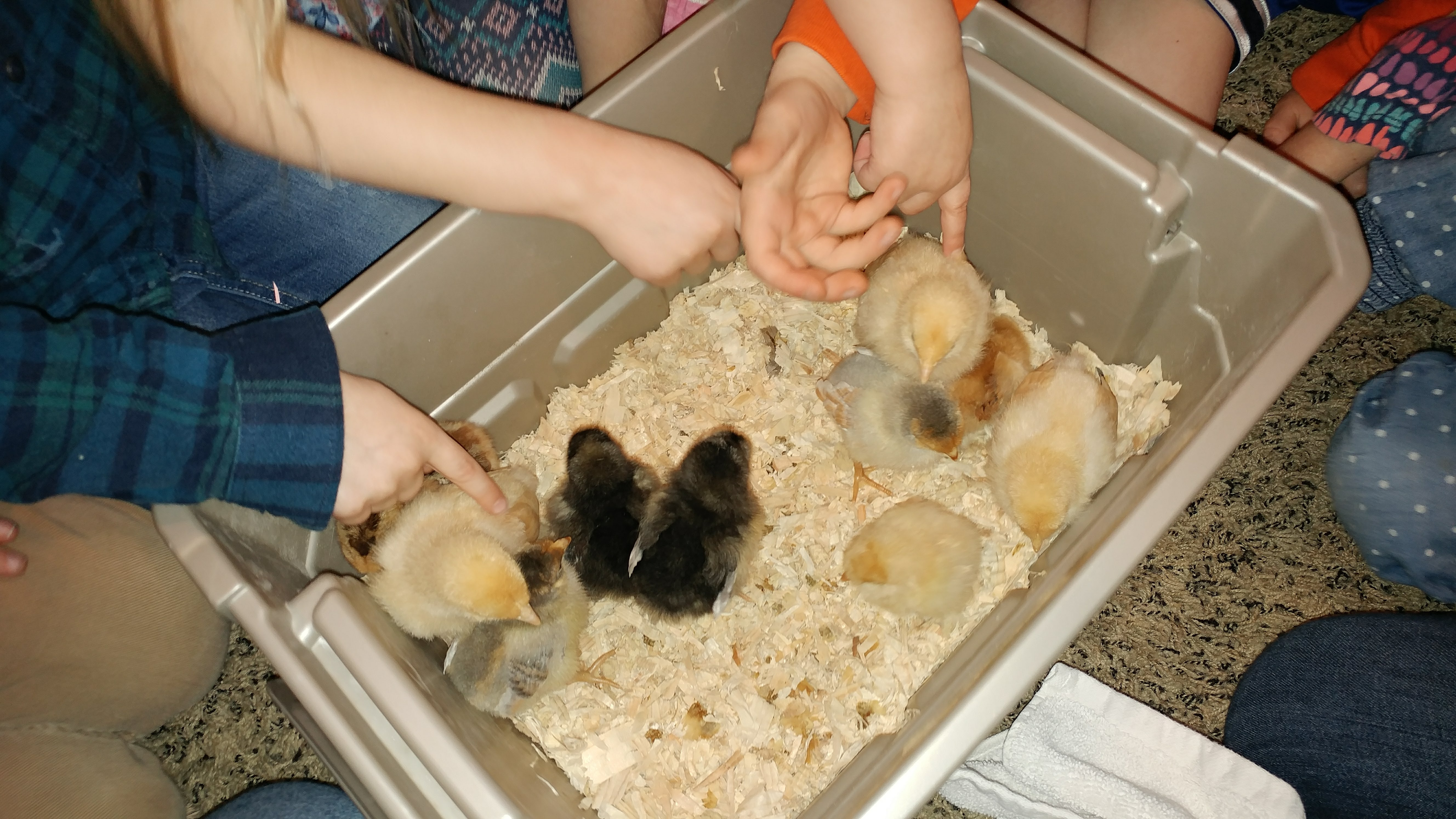 Talking about baby animals, we got to meet some new chicks!